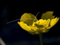 sauterelle (dddaviddd46) Tags: canon powershot sx60 hs insecte proxy fleur nature