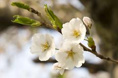 Cherry Blossoms - High Park 004 (cjb_photography) Tags: cherry blossoms tree bud petals stems branches toronto highpark bloom 6ixwalks torontophoto torontoclicks torontoguardian torontophotographer photography morning sun sunny