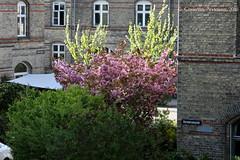 ... Lelica, Trešnja, Ljerka ... (ChristianofDenmark) Tags: christianofdenmark copenhagen denmark spring cherry lelica ljerka