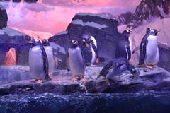 Gentoo Penguins (Adventurer Dustin Holmes) Tags: gentoopenguins 2018 animal animals zoo penguins animalia chordata pygoscelispapua aves sphenisciformes spheniscidae pygoscelis ppapua