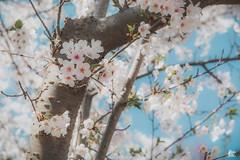 High Park - Cherry Blossom (nicksam.ca) Tags: nicksam368 nicksam canon toronto highpark cherry cherryblossom hot new camera photographer top urban park trees flowers flower nice cool art nature sakura