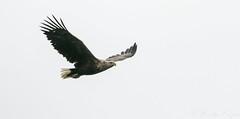 M2 WTE -1458 (WendyCoops224) Tags: 100400mml 80d isleofmull scotland canon eos ©wendycooper white tailed sea eagle