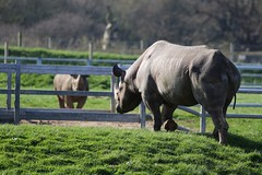 Hi Jasper. So glad you finally came out to play (joannekerry) Tags: rhinoceros blackrhino rhino wildlife yorkshirewildlifepark nature canon