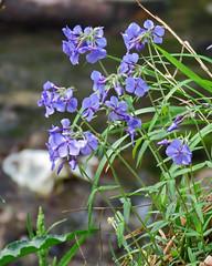 IMG_9581 (lbj.birds) Tags: kansas nature flinthills wildflower dakotaverbena