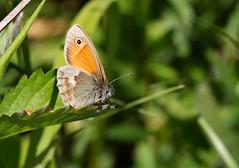 SMALL HEATH 150518 (gazza294) Tags: smallheath butterfly butterflies butterflyconservation lepidoptera wildlife wildlifemagazine wildlifephotographer wildlifephotography nature nationalgeographic flicker flickr flckr flkr flickrexplore gazza294 garymargetts