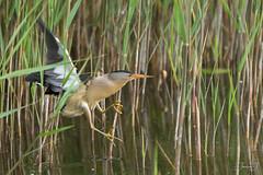 Blongios nain (Tifaeris) Tags: ardéidés blongiosnain ixobrychusminutus littlebittern pélécaniformes réservedesebes bird oiseau