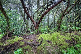 Laurisilva Forest Anaga. Tenerife (Canary Islands)
