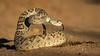 Western Diamondback Rattlesnake (Eric Gofreed) Tags: arizona elephantheadpond rattlesnake westerndiamondbackrattlesnake santacruzcounty snake
