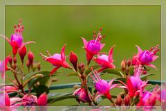 Fuschia (clamar18) Tags: fleur jardin nature mérysurcher mauve rouge flower france vierzon