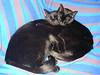 Sam and Tindra cuddling (Malmöstad) Tags: cat black cuddle katt svart djur animal sweet cute bed sofa blue feline mysa