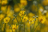Amongst the Buttercups... (petegatehouse) Tags: flower wild wildflower yellow lowlevel seedheads sunshine together crowded nature colour colony