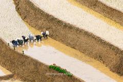 _J5K0886.0617.Lao Chải.Mù Cang Chải.Yên Bái (hoanglongphoto) Tags: asia asian vietnam northvietnam northwestvietnam landscape scenery vietnamlandscape vietnamscenery terraces terracedfields transplantingseason sowingseeds hillside people landscapewithpeople canon canoneos1dsmarkiii hdr tâybắc yênbái mùcangchải phongcảnh ruộngbậcthang ruộngbậcthangmùcangchải mùacấy đổnước người phongcảnhcóngười sườnđồi mùcangchảimùacấy canonef70200mmf28lisiiusm ricceterracedinvietnam terracedfieldsinvietnam thehmong ngườihmông abstrat curve trừutượng đườngcong laochải