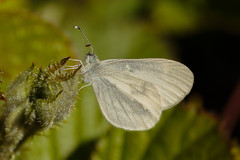 Wood White (microwyred) Tags: monkwood events nature flower woodwhite places beautyinnature wildlife leaf animal small animalantenna plant butterflyinsect macro insect butterfly damselfly lepidoptera closeup outdoors multicolored summer greencolor springtime animalwing