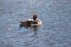 IMG_9259 copy (Britt2050) Tags: goldeneye princesislandpark bird