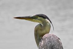 04-25-18-0014564 (Lake Worth) Tags: animal animals bird birds birdwatcher everglades southflorida feathers florida nature outdoor outdoors waterbirds wetlands wildlife wings