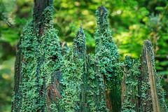Stanley Park, Vancouver (aud.watson) Tags: canada britishcolumbia vancouver stanleypark forest wood tree trees conifers deciduoustrees oldgrowthforest douglasfir westernredcedar westernhemlock sitkaspruce stump treestump ichen moss powderhornlichen cladonia