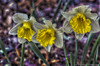 Three Happy Flowers (Pearce Levrais Photography) Tags: daffodil garden spring pretty canon 7d markii hdr beautiful artistic lovely happy