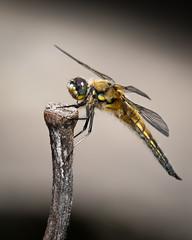 Vierfleck (Libellula quadrimaculata) 0944 (fotoflick65) Tags: leopold kepplinger vierfleck libellula quadrimaculata four spotted chaser y2018 ym04 45 ta150600 fl400450 fl400 iso100 flash godoxtt685n dragonfly groslibelle libelle tamronsp150600mmf563divcusdg2 linz botanischergartenlinz fotoflick65 tamronspaf150600mmf563divcusd d7100