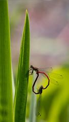 Frühe Adonislibellen (Pyrrhosoma nymphula) (Carsten Weigel) Tags: carstenweigel panasonicg9 libelle kleinlibelle damselfly red paarungsrad matingpair leica100400mmf463 nature natur wildlife insekt insect