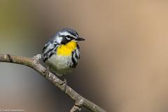 CA3I1503-Yellow-throated Warbler (tfells) Tags: yellowthroatedwarbler songbird passerine bird nature wildlife lancaster pennsylvania