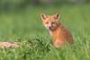 Red Fox (Jerry_a) Tags: redfox fox kit redfoxkit canon600mmf4isusmii wildlifecanon600mmf4 canon1dxmarkii