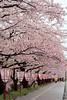 弘前城公園 (light03) Tags: canong7xm2 japan hirosaki sakura 日本 弘前 櫻花