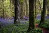 Killinthomas Wood (jim2302) Tags: path tree trunk bluebells bluebell blue bell sunlight light sun