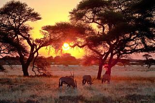 Evening, Oryx grazing in the Central Kalahari Game Reserve, Botswana