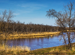 Blue and  Gold (Ruth Voorhis) Tags: trees branches shrubs weeds grass reeds river water reflections sky clouds outdoors