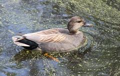 IMG_7782 Drake Gadwall (Jon. D. Anderson) Tags: nisquallynationalwildliferefuge birdsofwashington bird washingtonbirds waterfowl duck gadwall anasstrepera