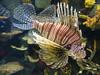 Akron Zoo 06-06-2014 - Lionfish 3 (David441491) Tags: lionfish fish aquarium akronzoo