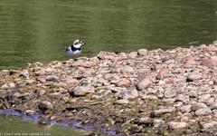9Q6A2350 (2) (Alinbidford) Tags: alancurtis alinbidford brandonmarsh nature wildlife younglapwing