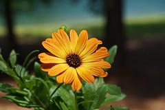 Osteospermum (Jim Atkins Sr) Tags: osteospermum capedaisy africandaisy flower orange fairfieldharbour northcarolina sony sonyphotographing sonya58 macro closeup
