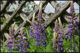 Blue lupine in front of a woodem fence, Zavelstein, Germany