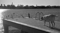 Friendly Wiggle (Leica M3) (PositiveAboutNegatives) Tags: leica rangefinder m3 vintagecamera leicam3 leitz 50mmsummicrondr 50mm dualrange film analog bw blackandwhitefilm kodak doublex hc110 coolscan dog labrador yellowlab birds lakeworth florida