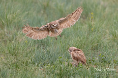 Female Burrowing Owl flies in