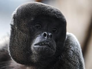 Portrait of a woolly monkey