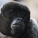Portrait of a woolly monkey thumbnail
