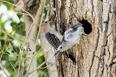 Female Golden-fronted Woodpecker leaving nest - OY5A1915