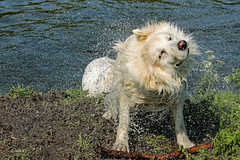 Berger Blanc Suisse (K.Verhulst) Tags: bergerblancsuisse zwitsersewitteherder herder hond dog huisdier pet witteherder ommoordseveld