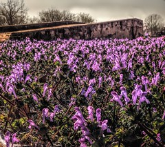 Dreary Day Color Splash (clarkcg photography) Tags: saturatedsaturday weeds blooms flowers purple concrete ramp