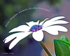 Fröhliche Pfingsten (magritknapp) Tags: macro bokeh blüte blatt flower leaf fleur feuille flor hoja folha fiore foglia bloem blad blomma kwiatostan arkusz