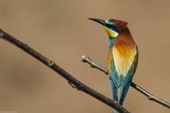 20mai18_15_prigorii prundu 15 (Valentin Groza) Tags: prigorie prigorii bee eater merops apiaster romania summer bird flight bif birdwatching outdoor