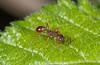Myrmica SP- (Alf Branch) Tags: insects insect invertibrate alfbranch macro macrodreams manchester closeup kent canterbury naturereserve wildlife macrosafari olympus omd olympusomdem5mkii olympusstf8flash zuiko zuiko60f28macro ant