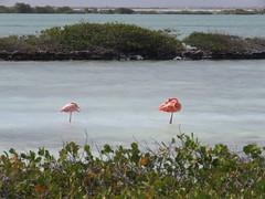 Bonaire 2018 (Valerie Hukalo) Tags: flamingo flamand valériehukalo hukalo bonaire antilles caraïbes paysbas flamandrose bird oiseau nature