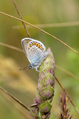 Common blue butterfly (RunningRalph) Tags: butterfly butuceni commonblue icarusblauwtje moldavie moldova orheivechi orheiulvechi vlinder raionulcriuleni moldavië md
