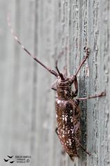 Escarabajo Cerambicidae (Adolfo Montes) Tags: