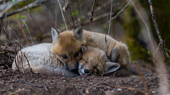 Red Fox Kits (Our Local Wildlife) Tags: redfoxes ourlocalwildlife daveellis fox