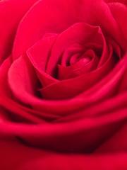 Rosa (Gargomo ( José Luis )) Tags: epl3 mzd30mm macro rosas santjordi rojo elpratdellobregat españa