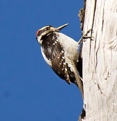 Hairy Woodpecker (richmondbrian) Tags: dncb 201817 ladner marsh hairy woodpecker